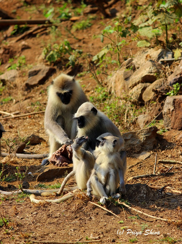 Grey Langur monkeys