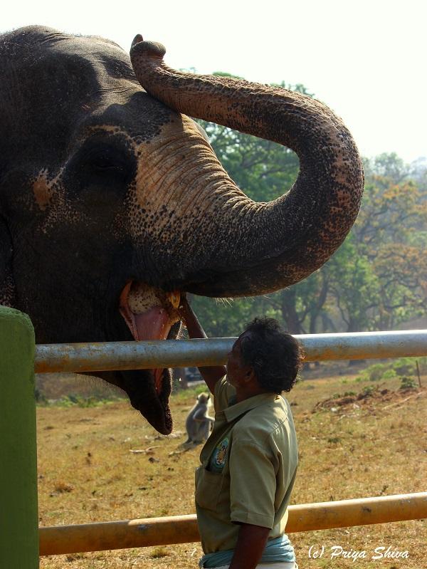Theppakadu Elephant feeding camp
