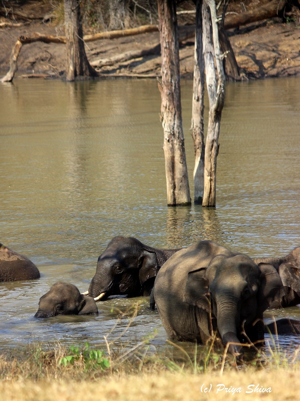 elephants in mudumalai