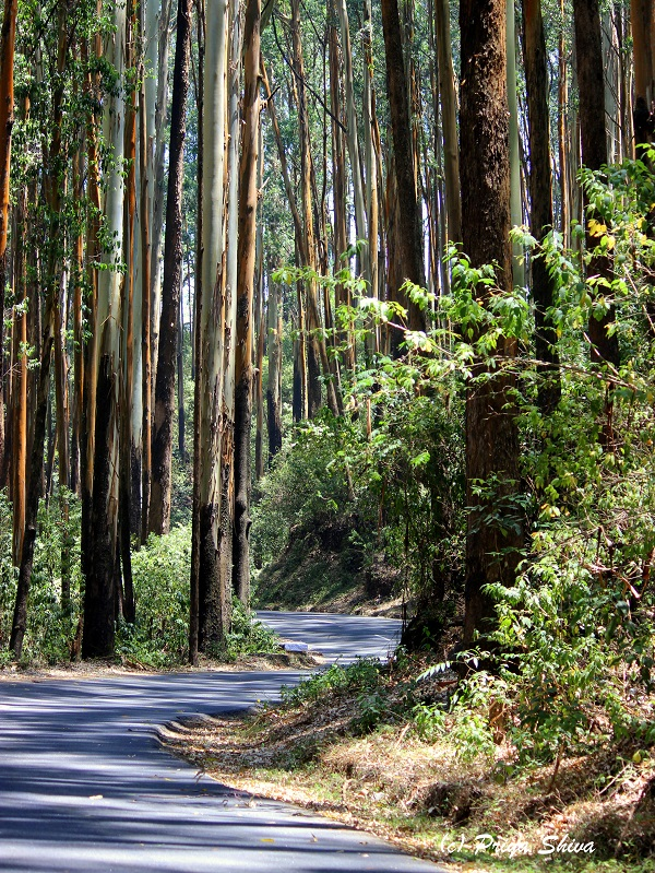 eucalyptus trees in ooty