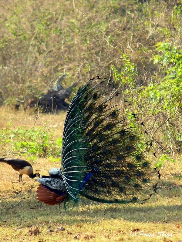 peacocks in mudumalai