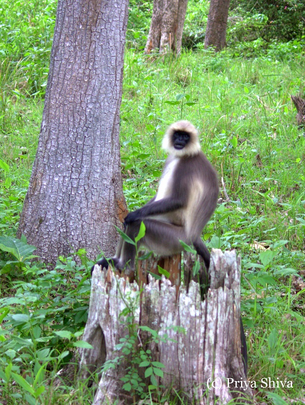 Grey langur monkey
