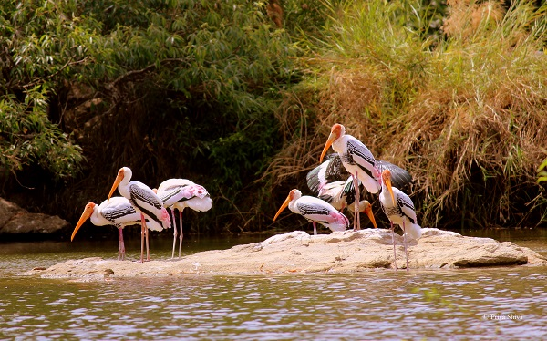 painted stork at ranganathittu bird sanctuary